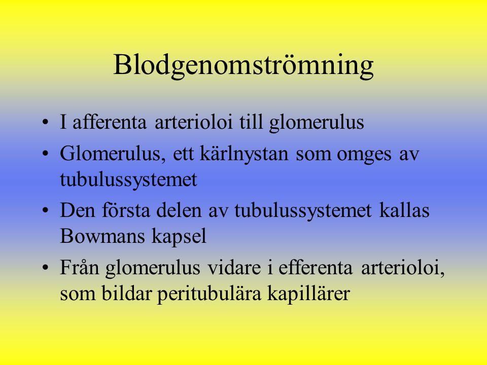 Blodgenomströmning I afferenta arterioloi till glomerulus Glomerulus, ett kärlnystan som omges av tubulussystemet Den första delen av tubulussystemet