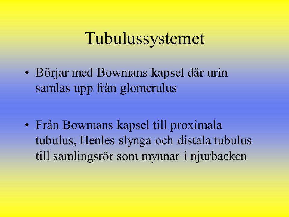 Tubulussystemet Börjar med Bowmans kapsel där urin samlas upp från glomerulus Från Bowmans kapsel till proximala tubulus, Henles slynga och distala tu