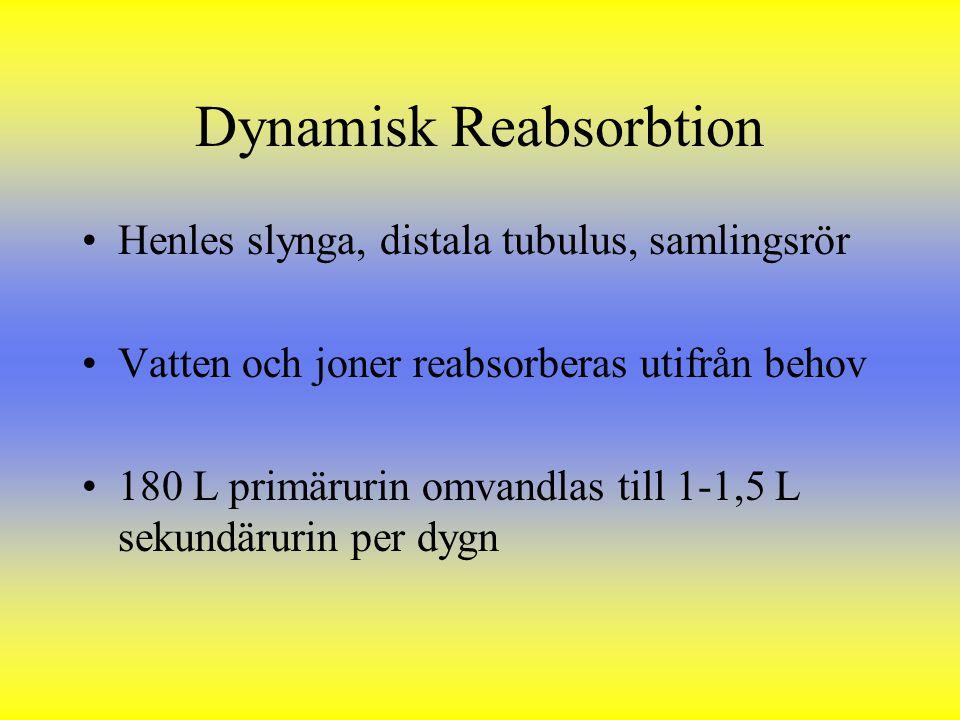 Dynamisk Reabsorbtion Henles slynga, distala tubulus, samlingsrör Vatten och joner reabsorberas utifrån behov 180 L primärurin omvandlas till 1-1,5 L