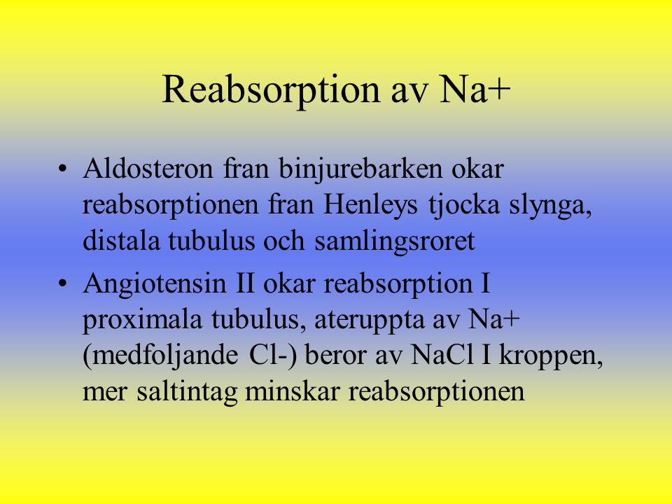 Reabsorption av Na+ Aldosteron fran binjurebarken okar reabsorptionen fran Henleys tjocka slynga, distala tubulus och samlingsroret Angiotensin II oka