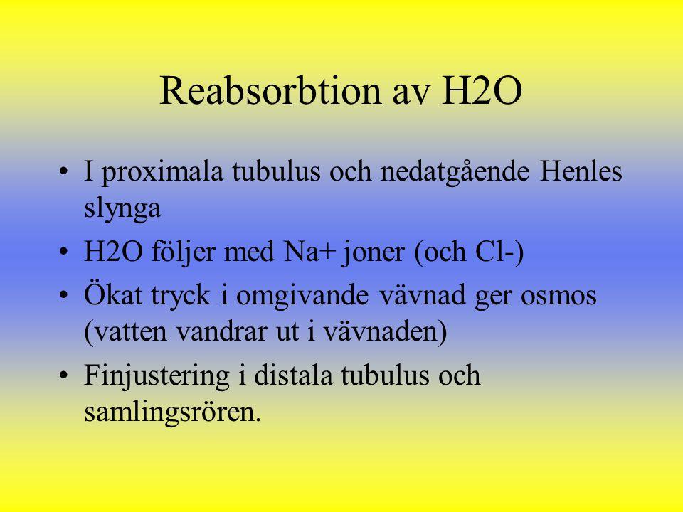 Reabsorbtion av H2O I proximala tubulus och nedatgående Henles slynga H2O följer med Na+ joner (och Cl-) Ökat tryck i omgivande vävnad ger osmos (vatt