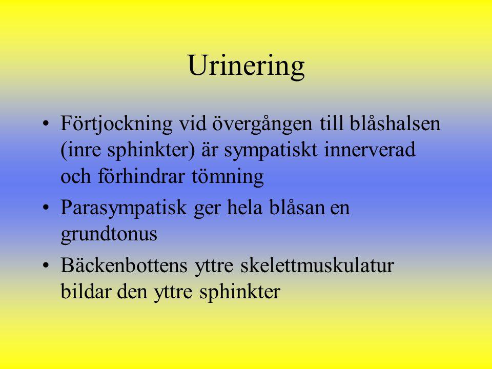 Urinering Förtjockning vid övergången till blåshalsen (inre sphinkter) är sympatiskt innerverad och förhindrar tömning Parasympatisk ger hela blåsan e