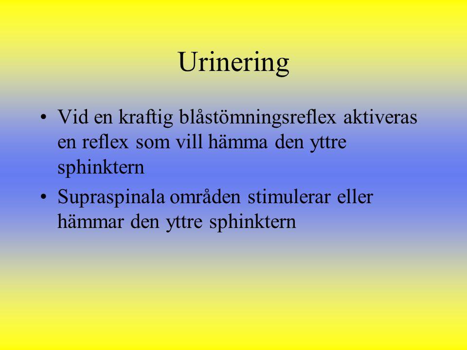 Urinering Vid en kraftig blåstömningsreflex aktiveras en reflex som vill hämma den yttre sphinktern Supraspinala områden stimulerar eller hämmar den y