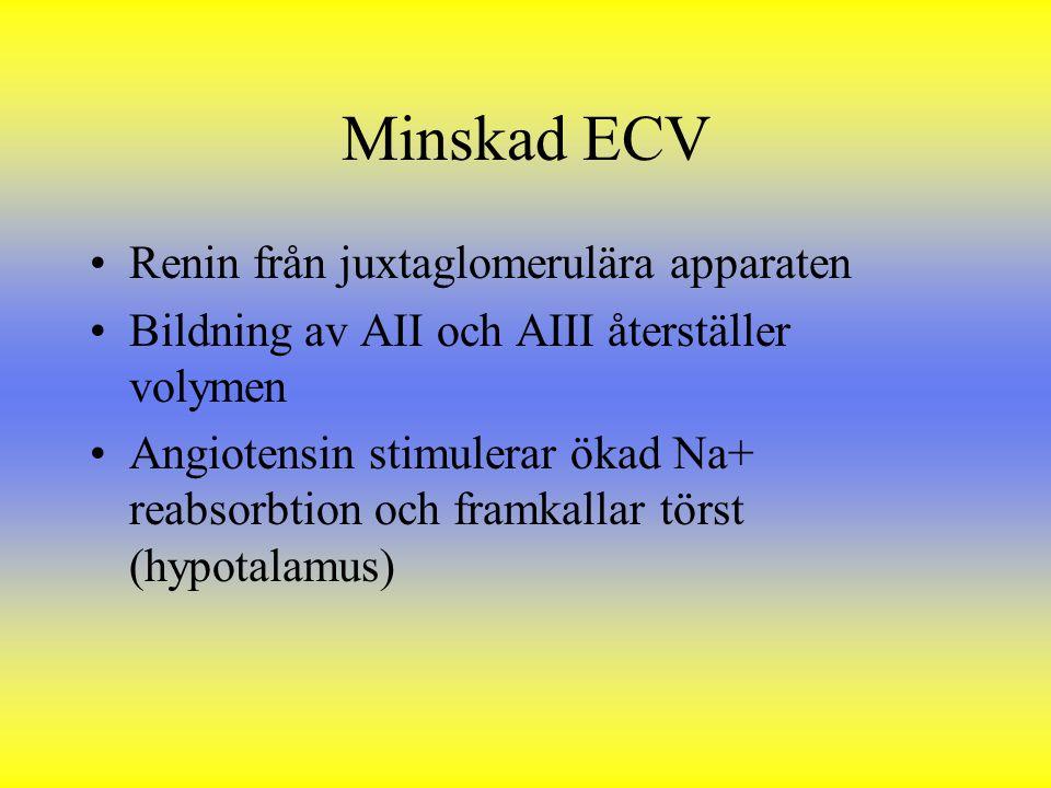 Minskad ECV Renin från juxtaglomerulära apparaten Bildning av AII och AIII återställer volymen Angiotensin stimulerar ökad Na+ reabsorbtion och framka