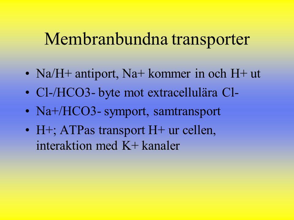 Membranbundna transporter Na/H+ antiport, Na+ kommer in och H+ ut Cl-/HCO3- byte mot extracellulära Cl- Na+/HCO3- symport, samtransport H+; ATPas tran