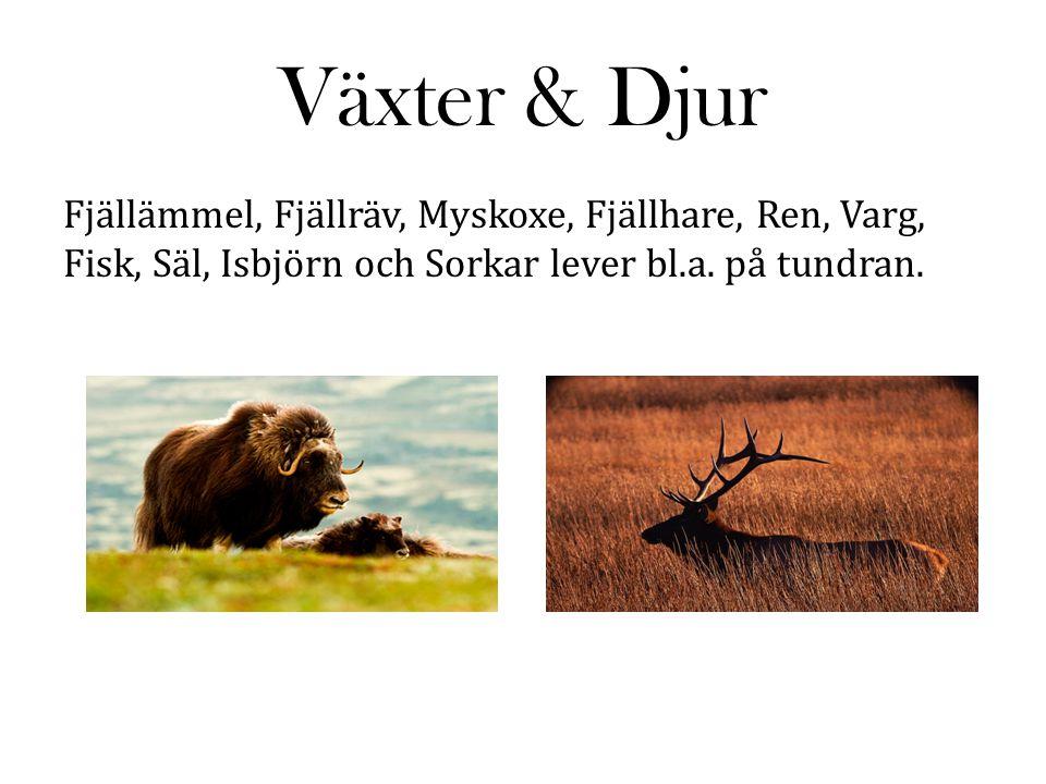 Växter & Djur Fjällämmel, Fjällräv, Myskoxe, Fjällhare, Ren, Varg, Fisk, Säl, Isbjörn och Sorkar lever bl.a. på tundran.