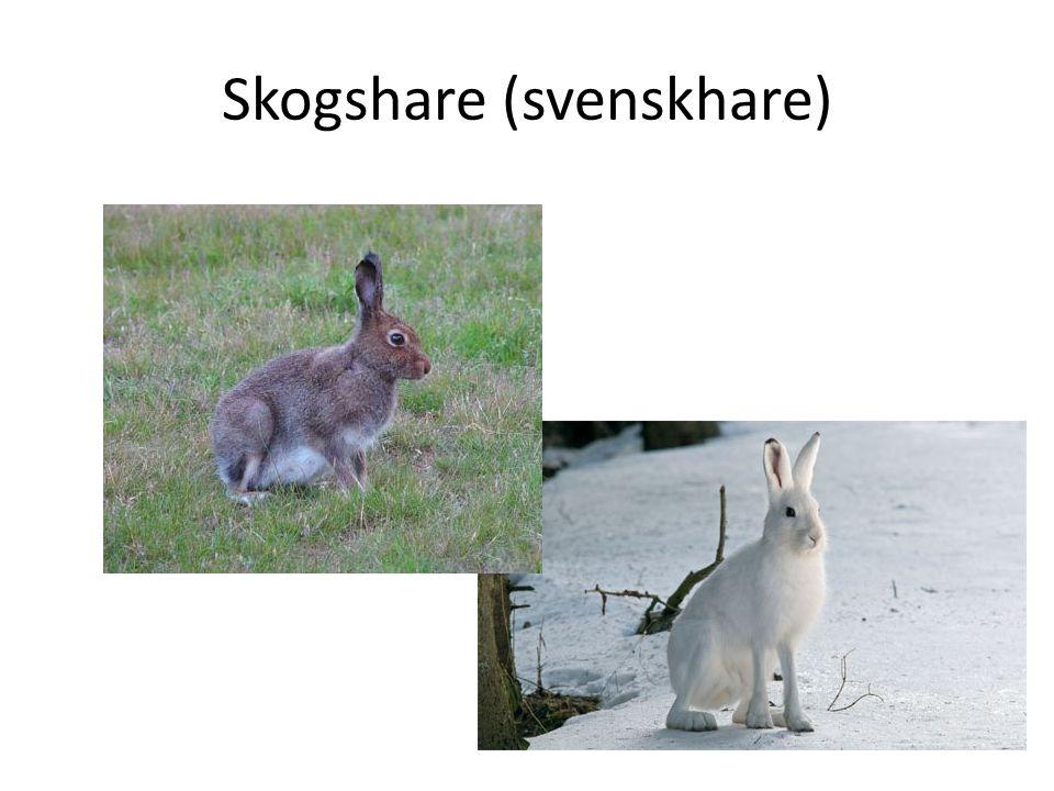 Skogshare (svenskhare)