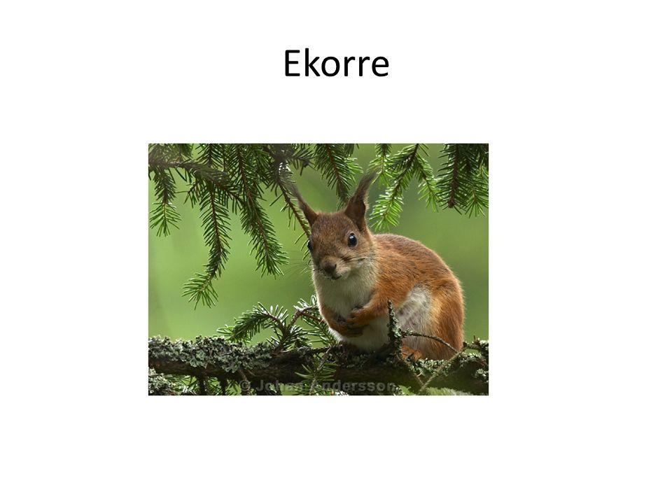 Ekorre