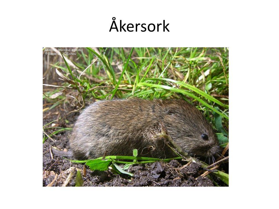 Åkersork