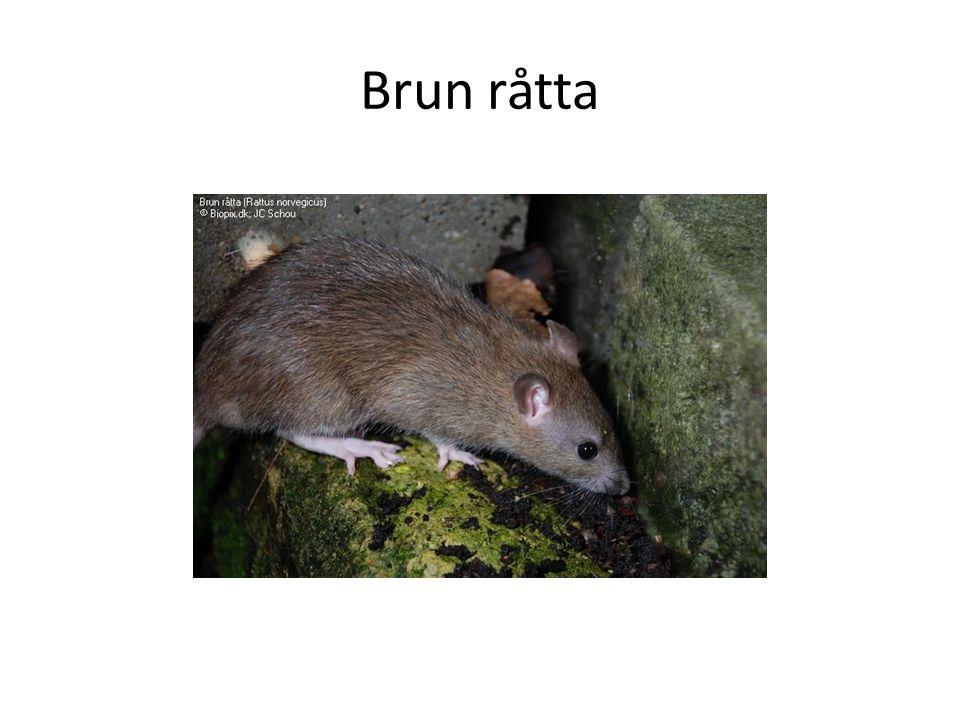 Brun råtta