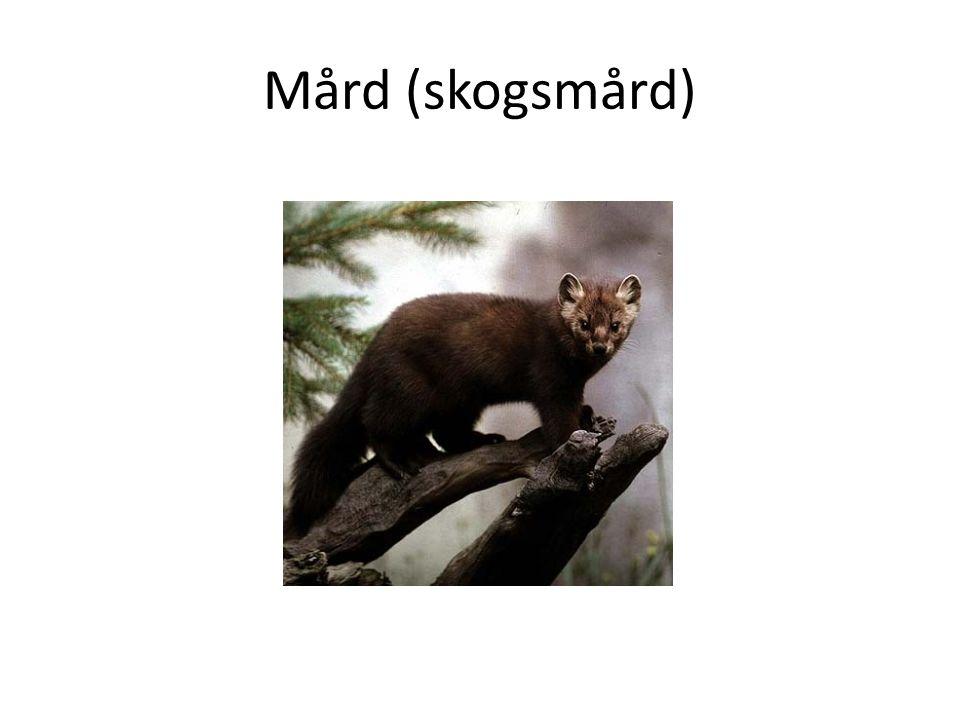 Mård (skogsmård)