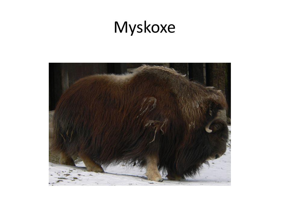 Myskoxe