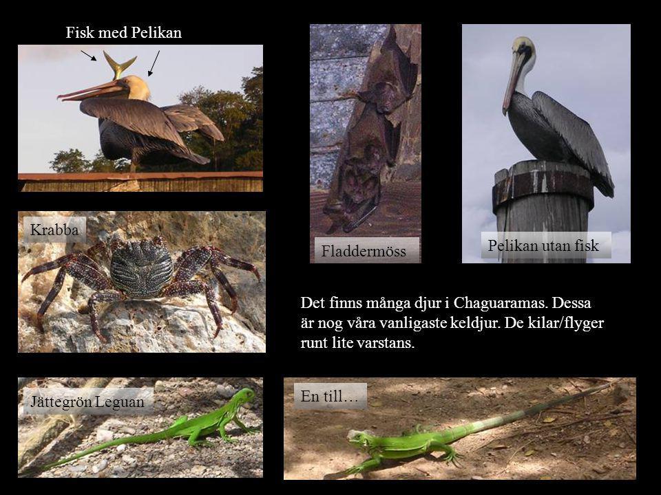 Det finns många djur i Chaguaramas. Dessa är nog våra vanligaste keldjur.