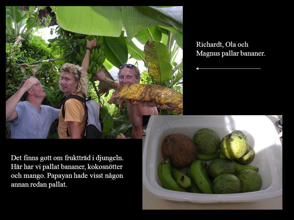 Richardt, Ola och Magnus pallar bananer. Det finns gott om fruktträd i djungeln.
