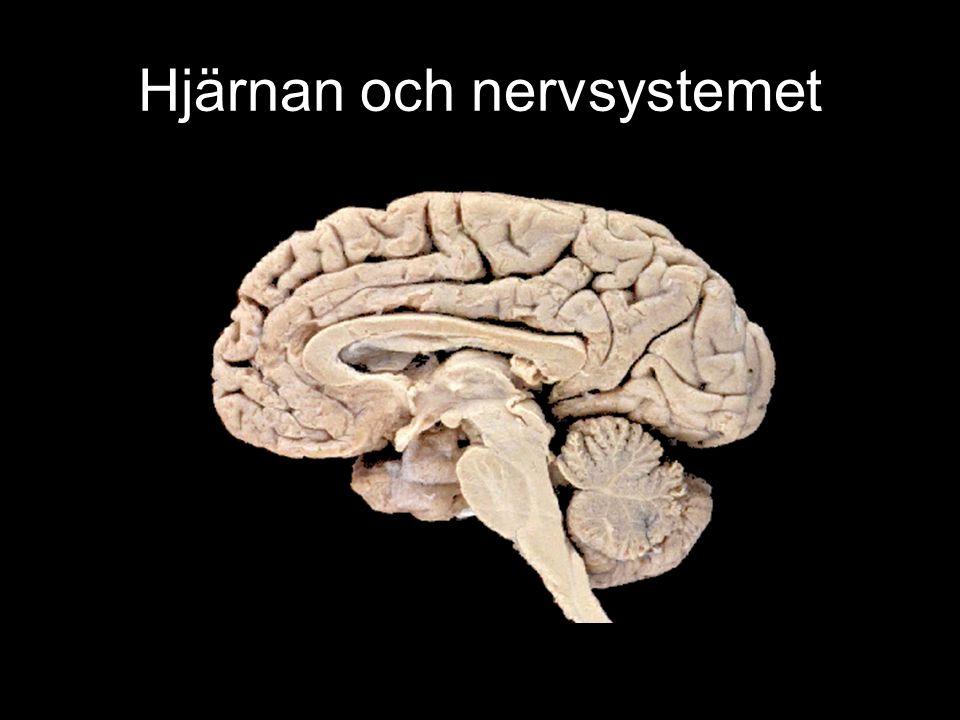 Hjärnans delar - komplettering Här följer lite komplettering till informationen i Biologiboken.
