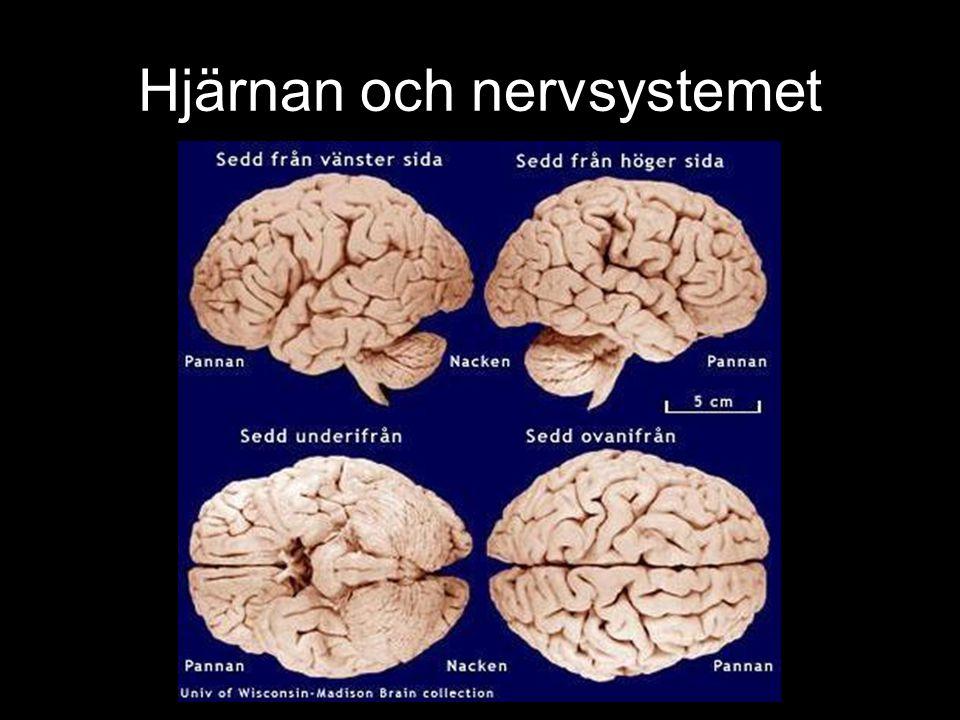Hjärnans centran