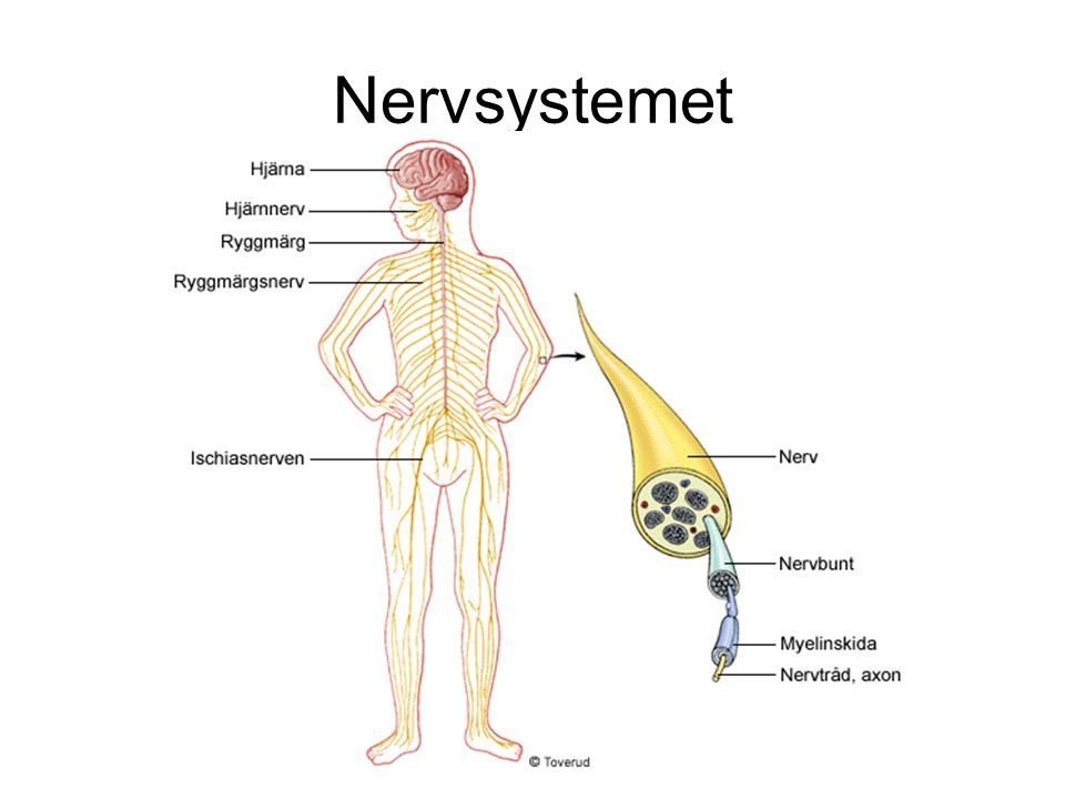 Nersvsystemets delar CNS – Det centrala nervsystemet är hjärnan, förlängda märgen och ryggmärgen.