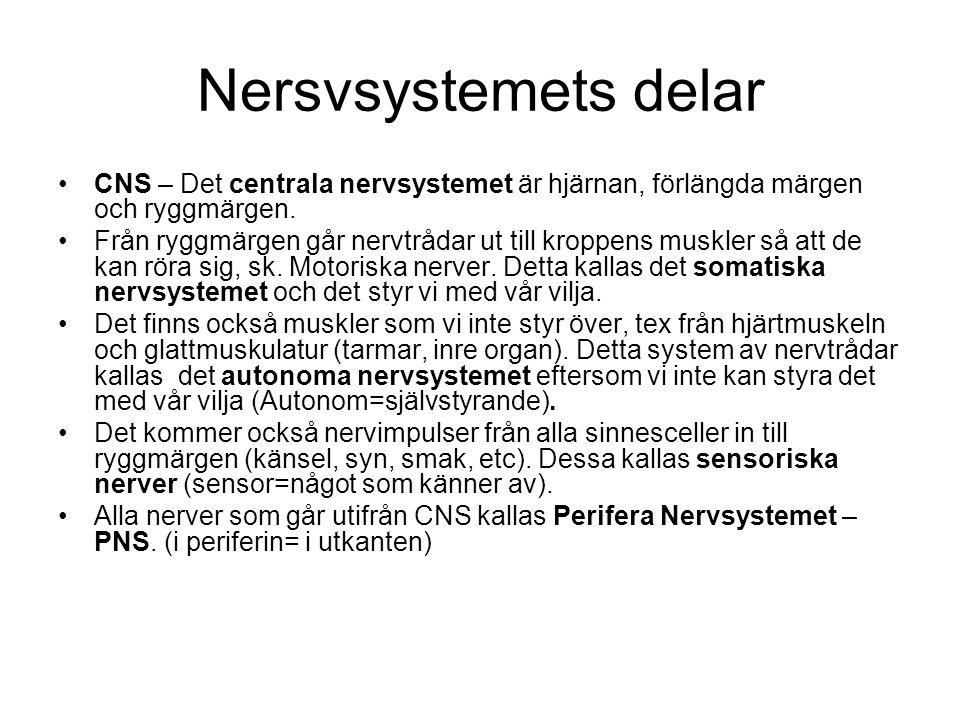 Nersvsystemets delar CNS – Det centrala nervsystemet är hjärnan, förlängda märgen och ryggmärgen. Från ryggmärgen går nervtrådar ut till kroppens musk