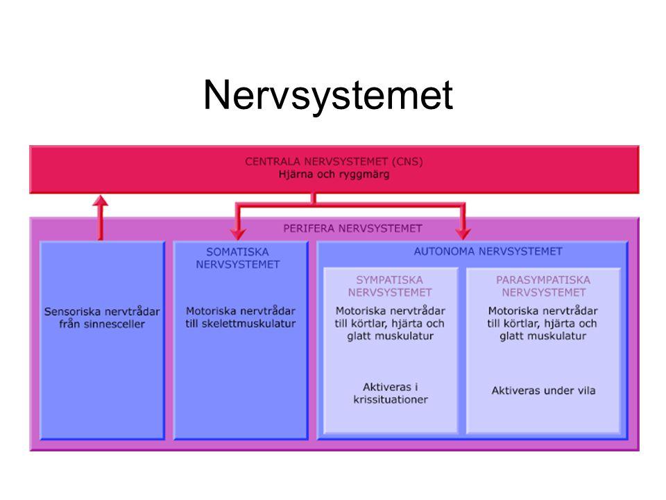 Reflexer En genväg mellan det sensoriska och motoriska nervsystemet som tex.