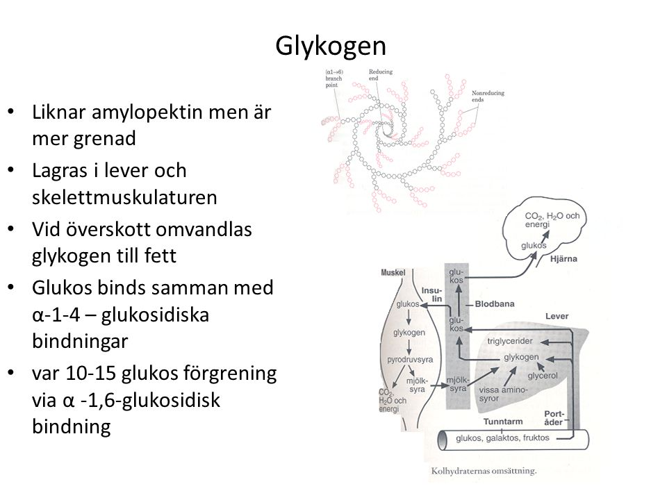 Glykogen Liknar amylopektin men är mer grenad Lagras i lever och skelettmuskulaturen Vid överskott omvandlas glykogen till fett Glukos binds samman med α-1-4 – glukosidiska bindningar var 10-15 glukos förgrening via α -1,6-glukosidisk bindning