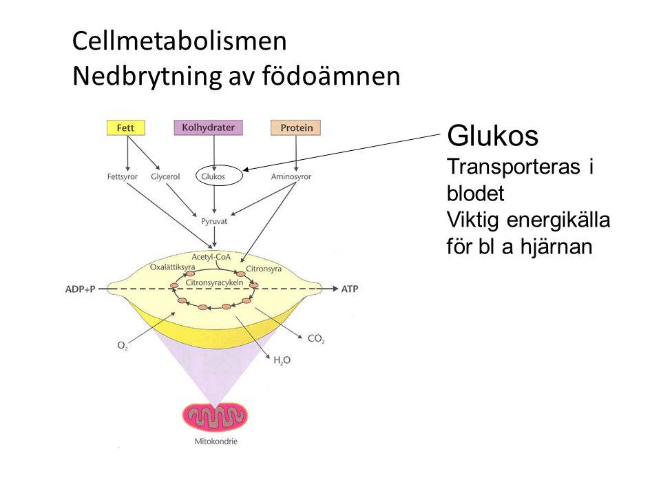 Cellmetabolismen Nedbrytning av födoämnen Glukos Transporteras i blodet Viktig energikälla för bl a hjärnan