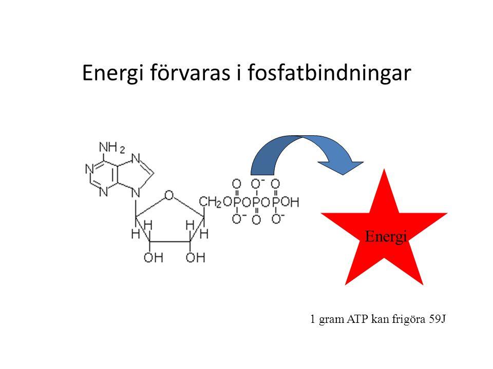 Energi förvaras i fosfatbindningar Energi 1 gram ATP kan frigöra 59J