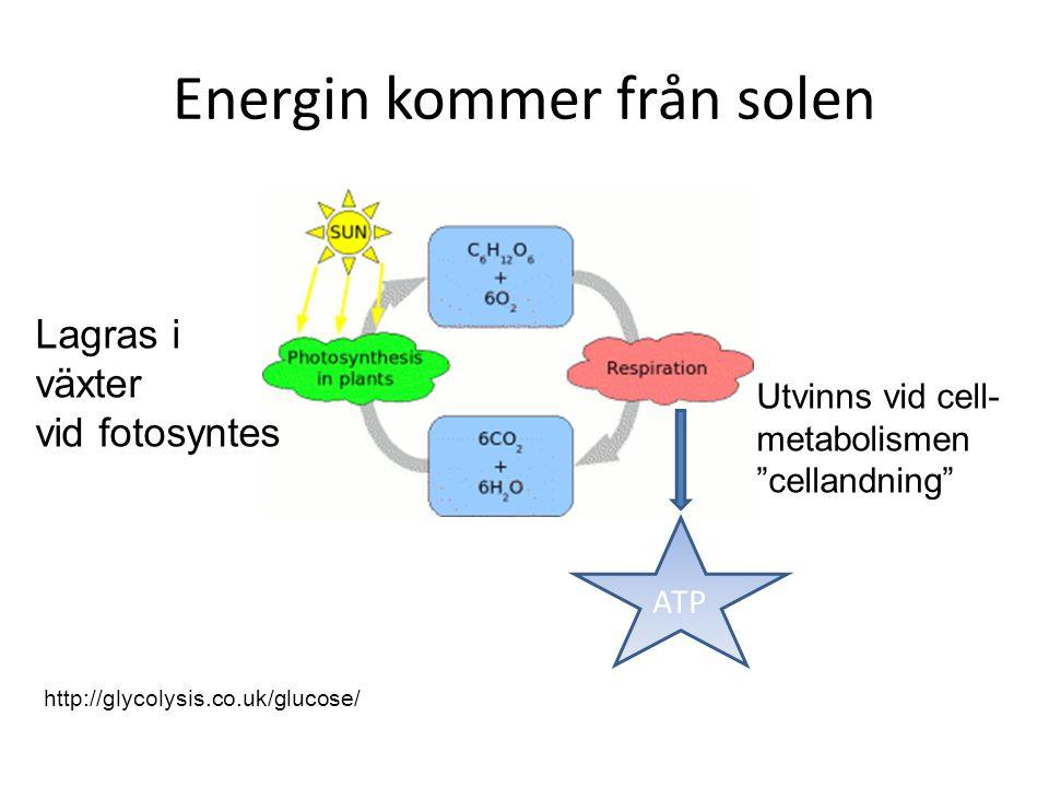 """Energin kommer från solen http://glycolysis.co.uk/glucose/ Lagras i växter vid fotosyntes Utvinns vid cell- metabolismen """"cellandning"""" ATP"""