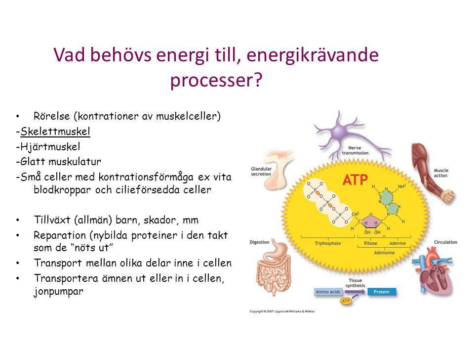 Vad behövs energi till, energikrävande processer? Rörelse (kontrationer av muskelceller) -Skelettmuskel -Hjärtmuskel -Glatt muskulatur -Små celler med