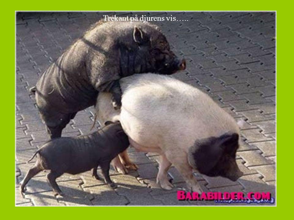 Trekant på djurens vis…..