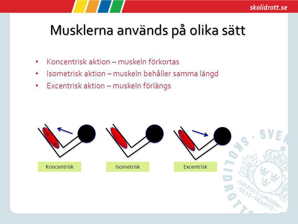 Musklerna används på olika sätt Koncentrisk aktion – muskeln förkortas Isometrisk aktion – muskeln behåller samma längd Excentrisk aktion – muskeln fö