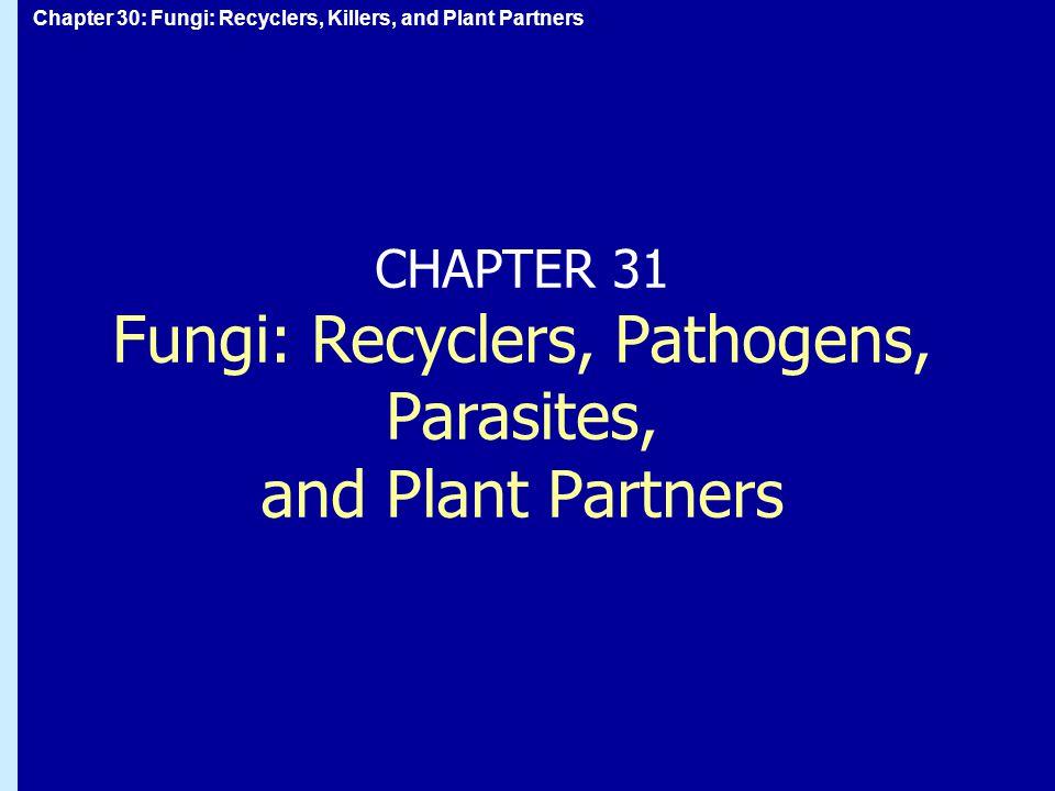 Chapter 30: Fungi: Recyclers, Killers, and Plant Partners Svampar: allmänt Svampar får energi från nedbrytning av organiskt materialSvampar får energi från nedbrytning av organiskt material de flesta kärlväxter har svampar som symbionterde flesta kärlväxter har svampar som symbionter  förbättrar rötternas upptagning av vatten och mineraler En del svampar förorsakar sjukdomar hos växter och djurEn del svampar förorsakar sjukdomar hos växter och djur