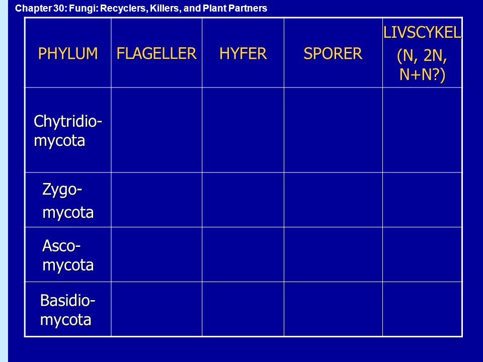 Chapter 30: Fungi: Recyclers, Killers, and Plant PartnersPHYLUMFLAGELLERHYFERSPORERLIVSCYKEL (N, 2N, N+N?) Chytridio- mycota Zygo-mycota Asco- mycota