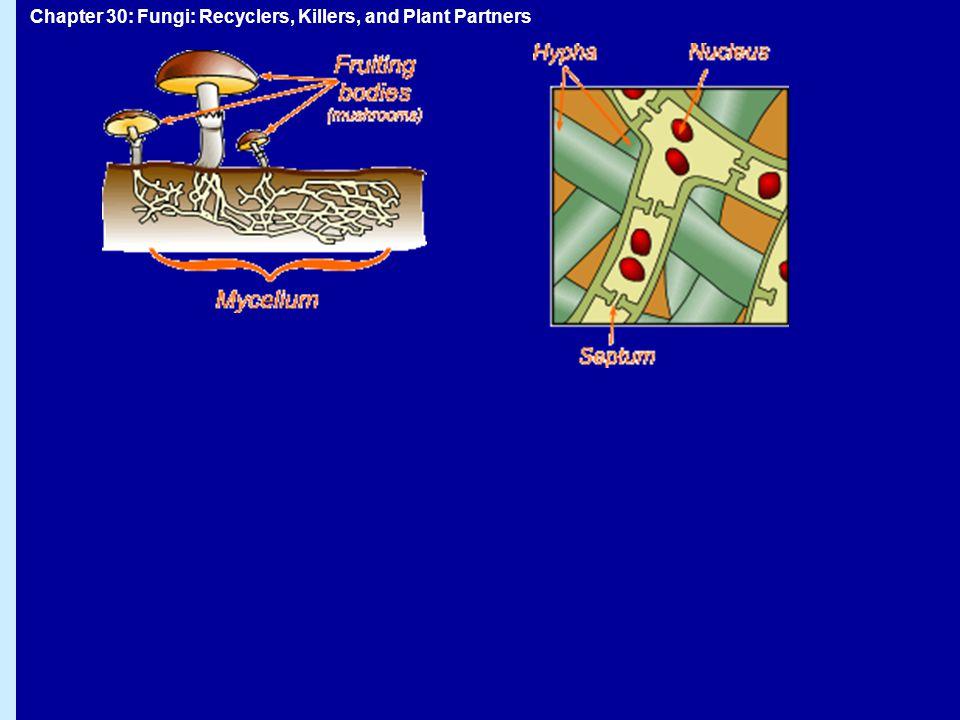 Svampar: metabolism HeterotroferHeterotrofer Utsöndrar enzymer som bryter ner organiskt materialUtsöndrar enzymer som bryter ner organiskt material Absorberar nedbrytningsprodukternaAbsorberar nedbrytningsprodukterna  Saprofyter  Parasiter  Mutualister (mycorrhiza) En del svampar kan fånga byteEn del svampar kan fånga byte