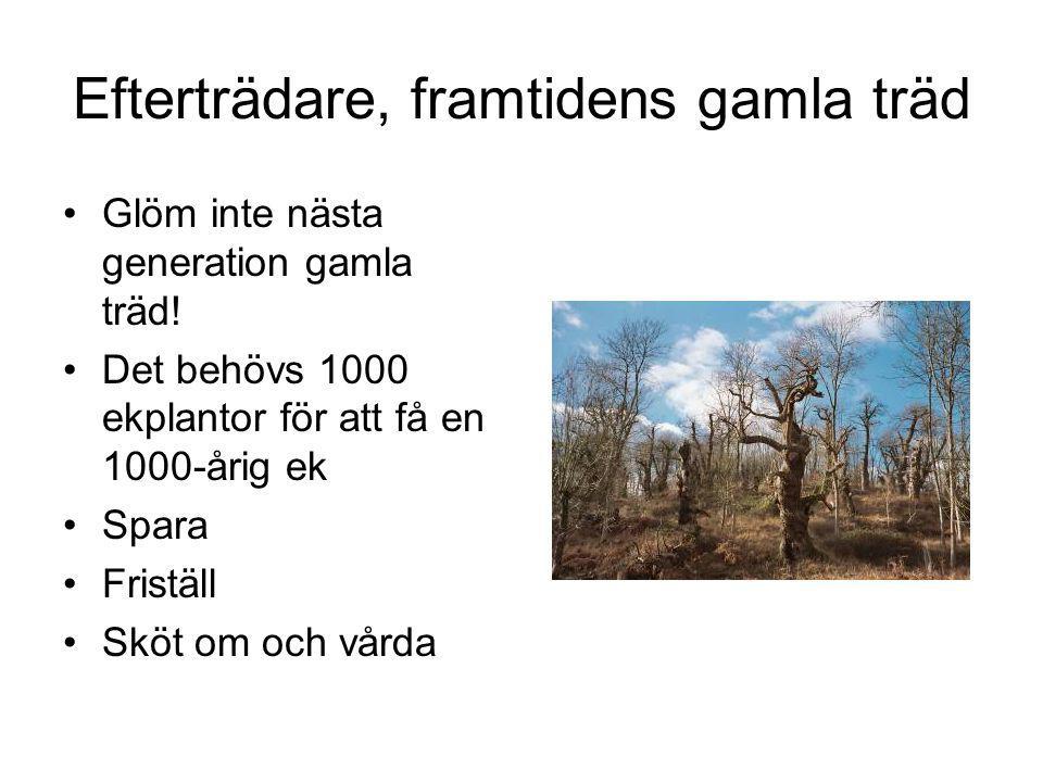 Efterträdare, framtidens gamla träd Glöm inte nästa generation gamla träd.