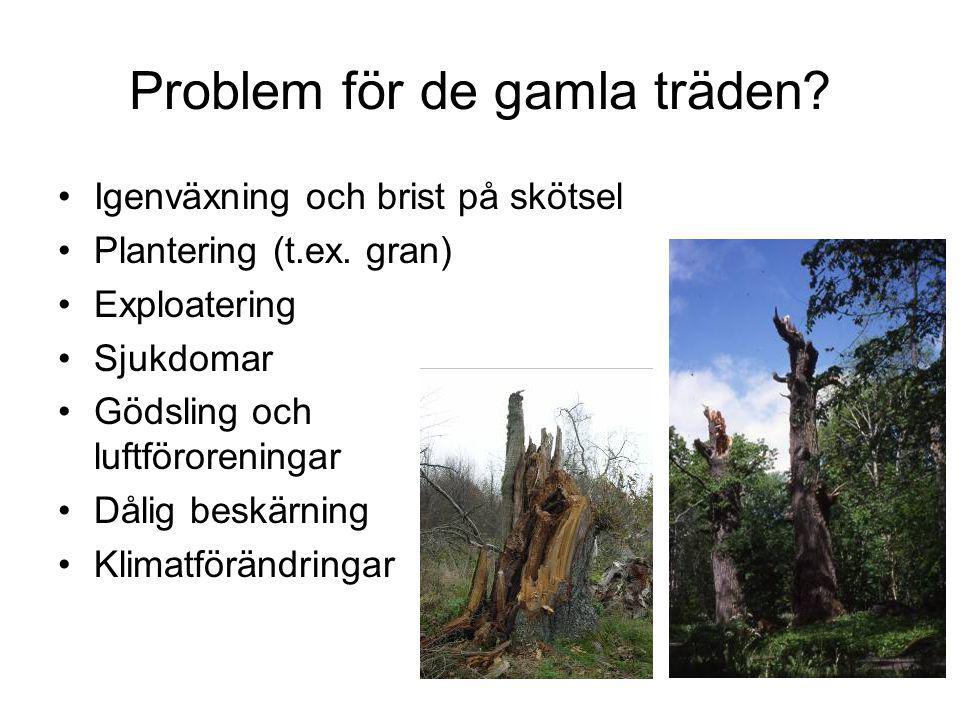 Problem för de gamla träden.Igenväxning och brist på skötsel Plantering (t.ex.