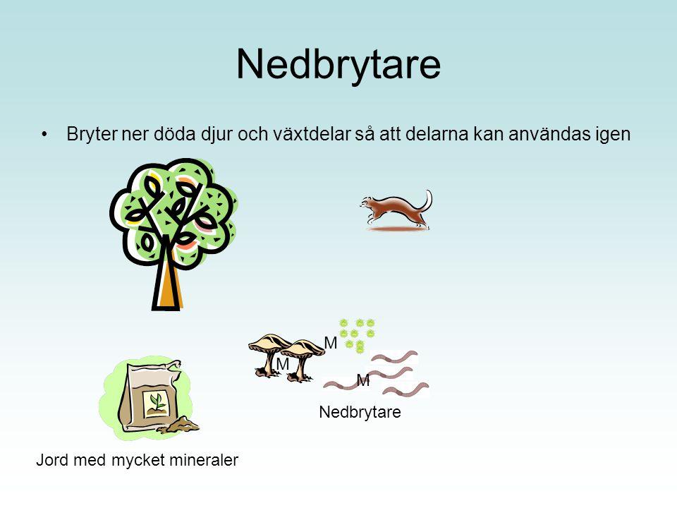 Nedbrytare Bryter ner döda djur och växtdelar så att delarna kan användas igen Jord med mycket mineraler M M M Nedbrytare