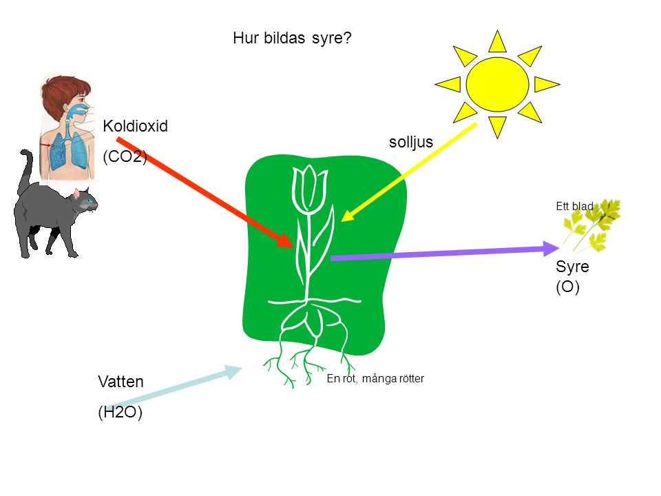 solljus Vatten (H2O) Koldioxid (CO2) Syre (O) En rot, många rötter Hur bildas syre? Ett blad