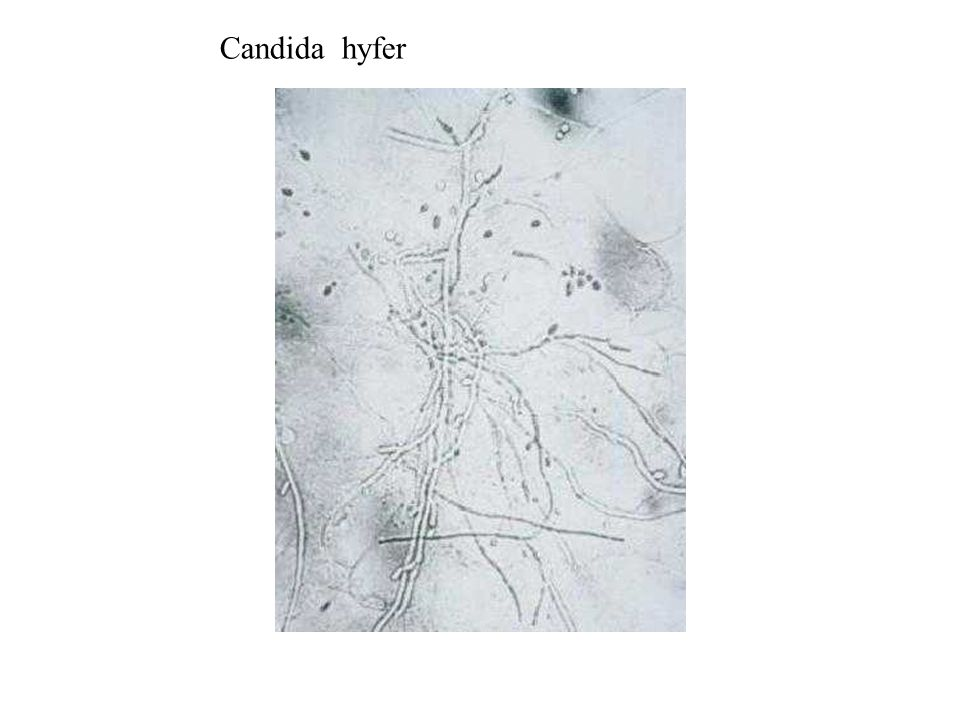 Candida hyfer