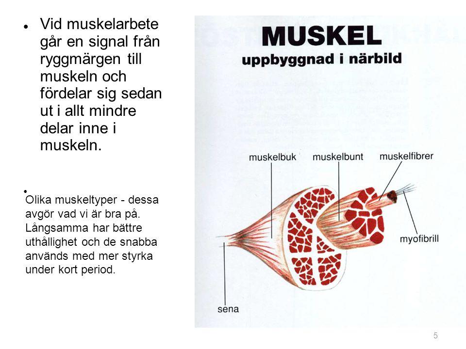 5 Vid muskelarbete går en signal från ryggmärgen till muskeln och fördelar sig sedan ut i allt mindre delar inne i muskeln. Olika muskeltyper - dessa