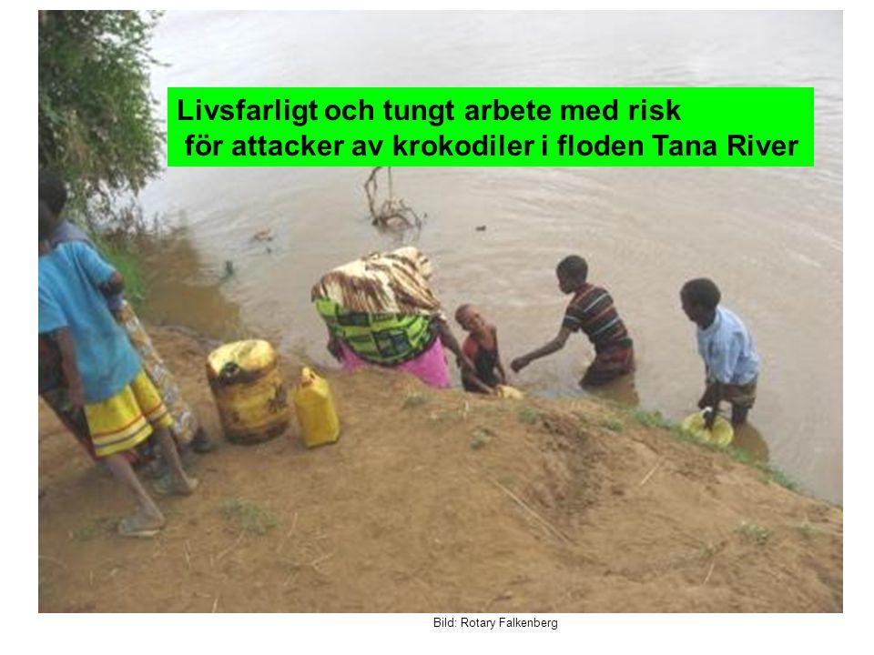 Bild: Rotary Falkenberg Livsfarligt och tungt arbete med risk för attacker av krokodiler i floden Tana River