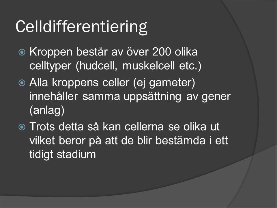 Celldifferentiering  Kroppen består av över 200 olika celltyper (hudcell, muskelcell etc.)  Alla kroppens celler (ej gameter) innehåller samma uppsä
