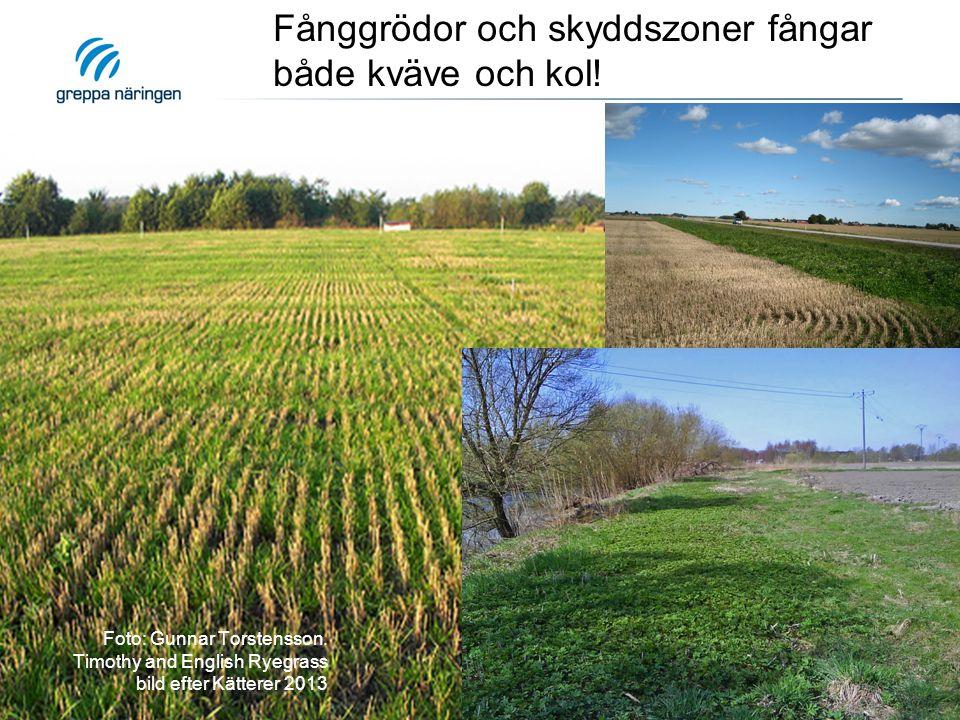 Foto: Gunnar Torstensson. Timothy and English Ryegrass bild efter Kätterer 2013 Fånggrödor och skyddszoner fångar både kväve och kol!