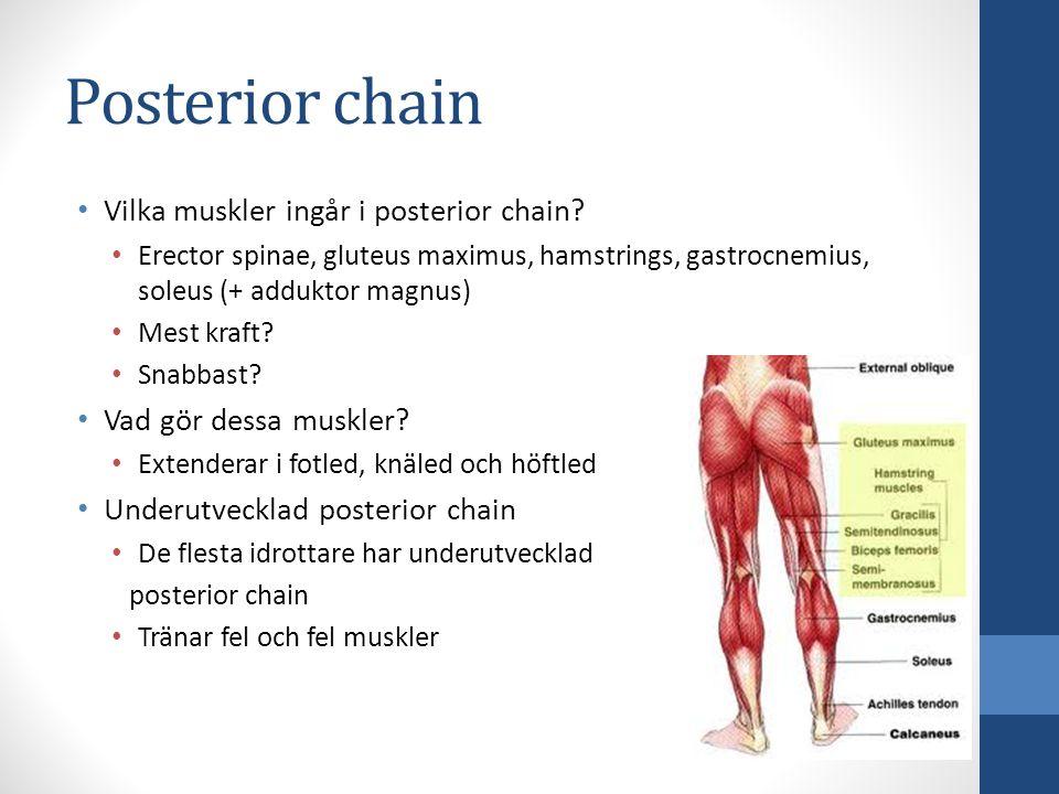 Vilka muskler ingår i posterior chain? Erector spinae, gluteus maximus, hamstrings, gastrocnemius, soleus (+ adduktor magnus) Mest kraft? Snabbast? Va
