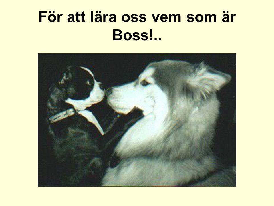 För att lära oss vem som är Boss!..