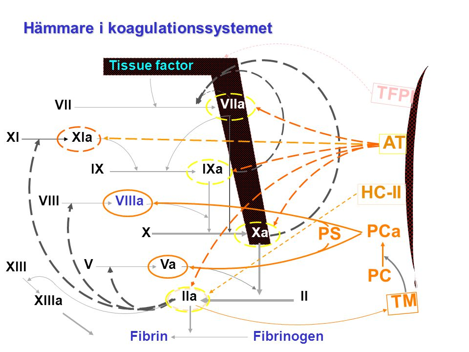 Tissue factor VII VIIa XIXIa IX IXa XXa IIaII FibrinogenFibrin VIIIVIIIa VVa XIII XIIIa Endothelial cell TM PCa PC PS TFPI AT HC-II Hämmare i koagulat