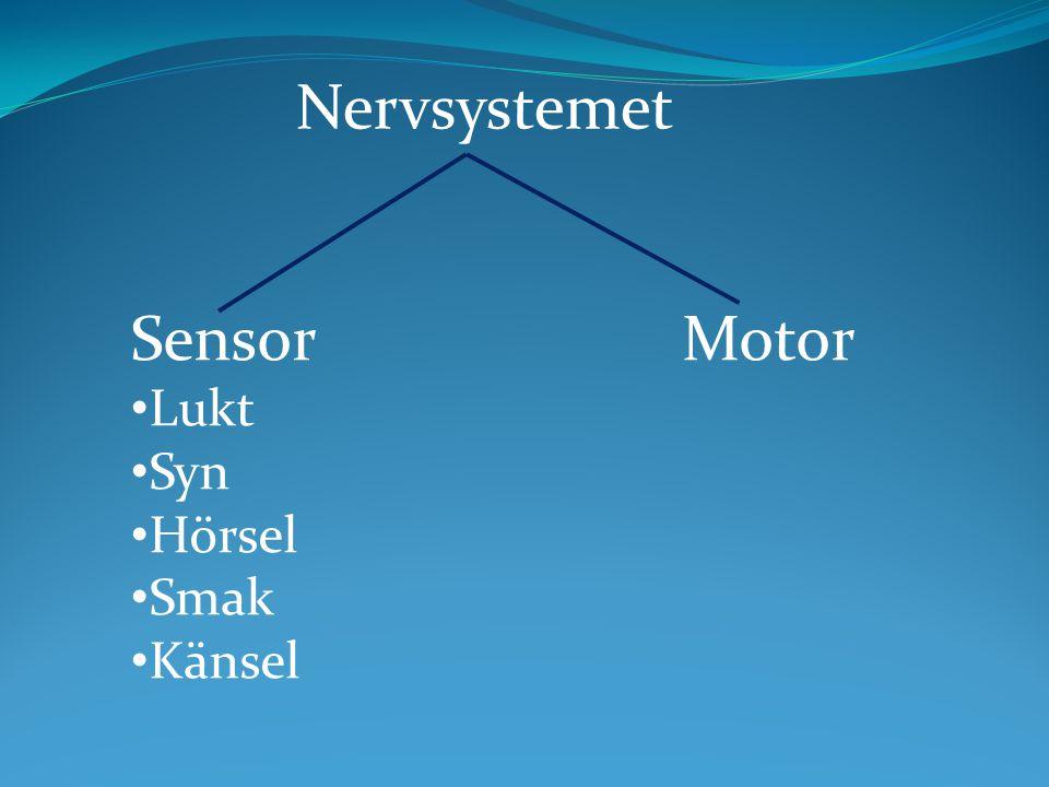 Sensor Motor Lukt Syn Hörsel Smak Känsel Nervsystemet