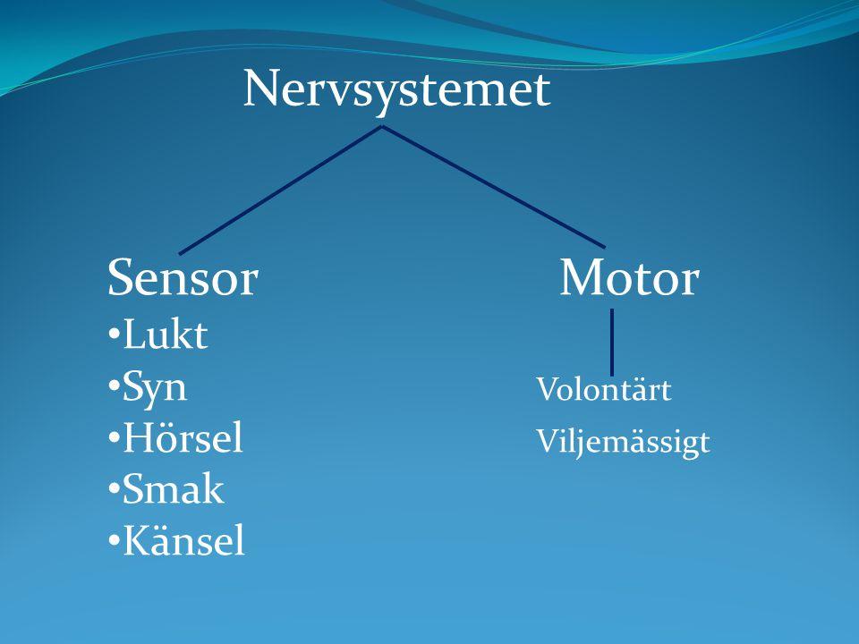 Sensor Motor Lukt Syn Volontärt Hörsel Viljemässigt Smak Känsel Nervsystemet