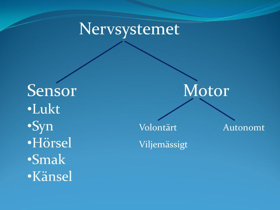 Sensor Motor Lukt Syn VolontärtAutonomt Hörsel Viljemässigt Smak Känsel Nervsystemet