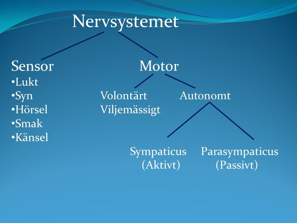 Sensor Motor Lukt SynVolontärt Autonomt HörselViljemässigt Smak Känsel Sympaticus Parasympaticus (Aktivt) (Passivt) Nervsystemet