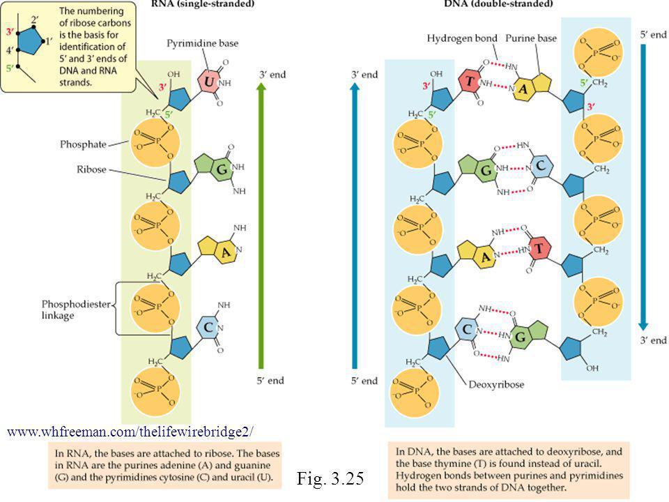 Fig. 3.25 www.whfreeman.com/thelifewirebridge2/